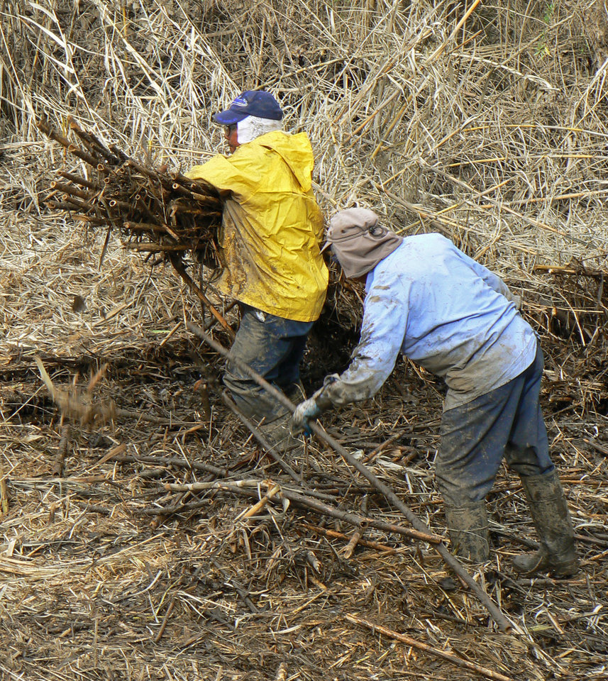ADVANCE FOR USE SUNDAY, NOV. 18, 2012 AND THEREAFTER - In this Jan. 29, 2008 photo provided by Dendra Inc., hand crews cut and haul Arundo donax to higher areas where mowers can grind it in Bonsall, Calif. California has spent more than $70 million trying to eradicate the invasive, self-propagating perennial. (AP Photo/Dendra Inc., Jason Giessow)