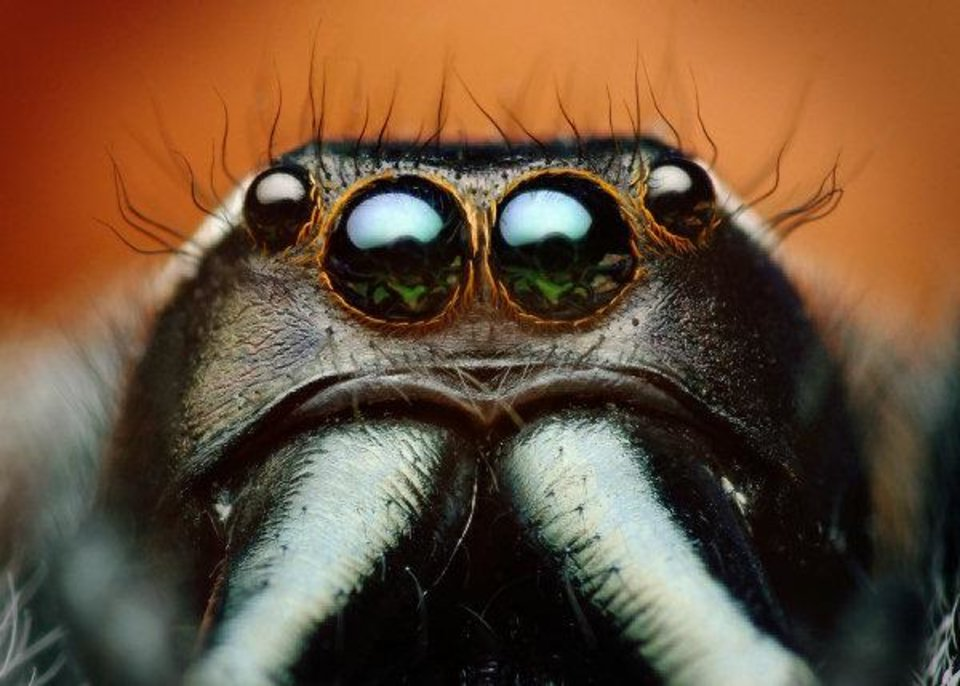 "Adult male jumping spider (Paraphidippus aurantius). Gaze into the eyes of a condemned man. Moments after Shahan took the five photos that were focus-stacked to create this single image, the jumping spider was attacked and killed by a female of the species. ""To be clear,"" Shahan wrote on his Flickr page, ""I took no part in his death -- I obviously enjoy spiders quite a bit and would never intentionally encourage them to kill each other. The female found and killed the male without any help from me -- she was bigger, quicker, and apparently stronger than the male and seemed to have no trouble getting him."" <strong>Thomas Shahan - www.thomasshahan.com</strong>"