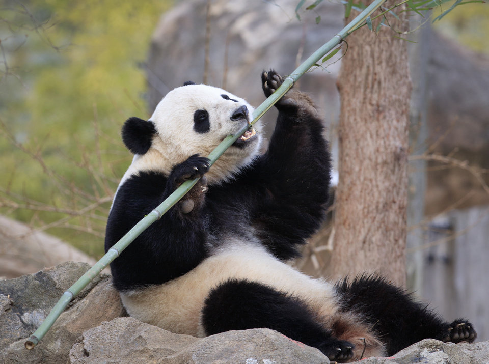 Photo - Bao Bao, the beloved 3-year-old panda at the National Zoo in Washington, enjoys a final morning in her bamboo-filled habitat before her one-way flight to China to join a panda breeding program, Tuesday, Feb. 21, 2017. (AP Photo/J. Scott Applewhite)