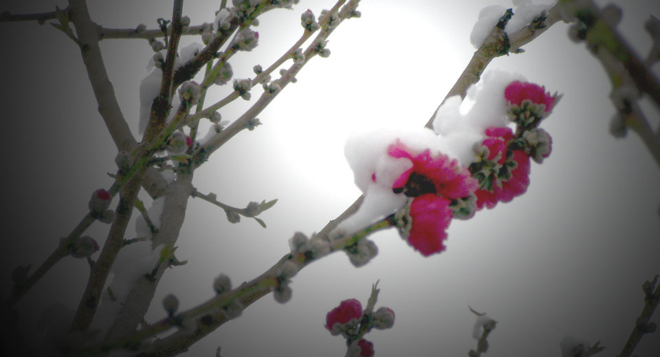 Flowering Peach tree surprised by March 23rd snow.<br/><b>Community Photo By:</b> Ron Skeeters<br/><b>Submitted By:</b> Ron,
