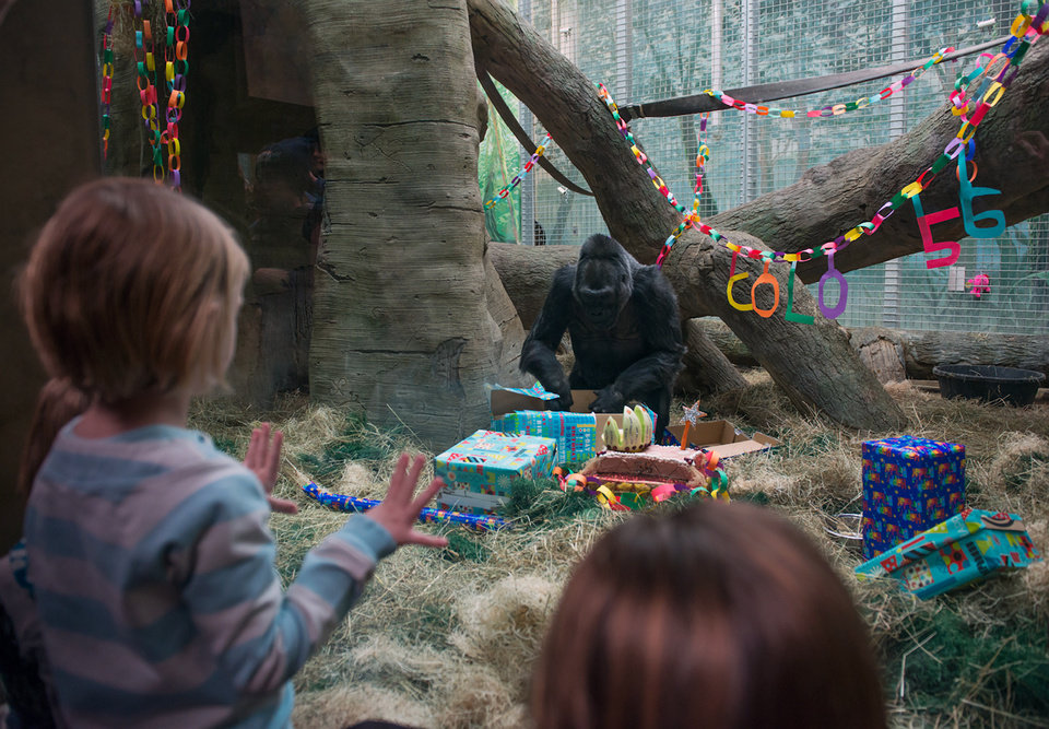 Photo - This photo provided by the Columbus Zoo and Aquarium shows 56-year-old western lowland gorilla Colo celebrating her birthday, Saturday, Dec. 22, 2012, at the Columbus Zoo and Aquarium in Columbus, Ohio. Colo is the oldest gorilla in any zoo. She was born at the Columbus Zoo and Aquarium in 1956. (AP Photo/Columbus Zoo and Aquarium, Grahm S. Jones)