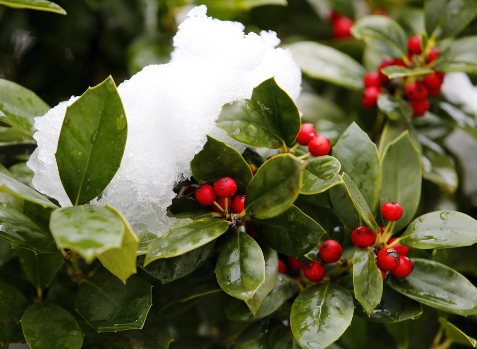 Photo - Snow covers a holly bush in Downtown  Edmond, Wednesday February  20, 2013. Photo By Steve Gooch, The Oklahoman