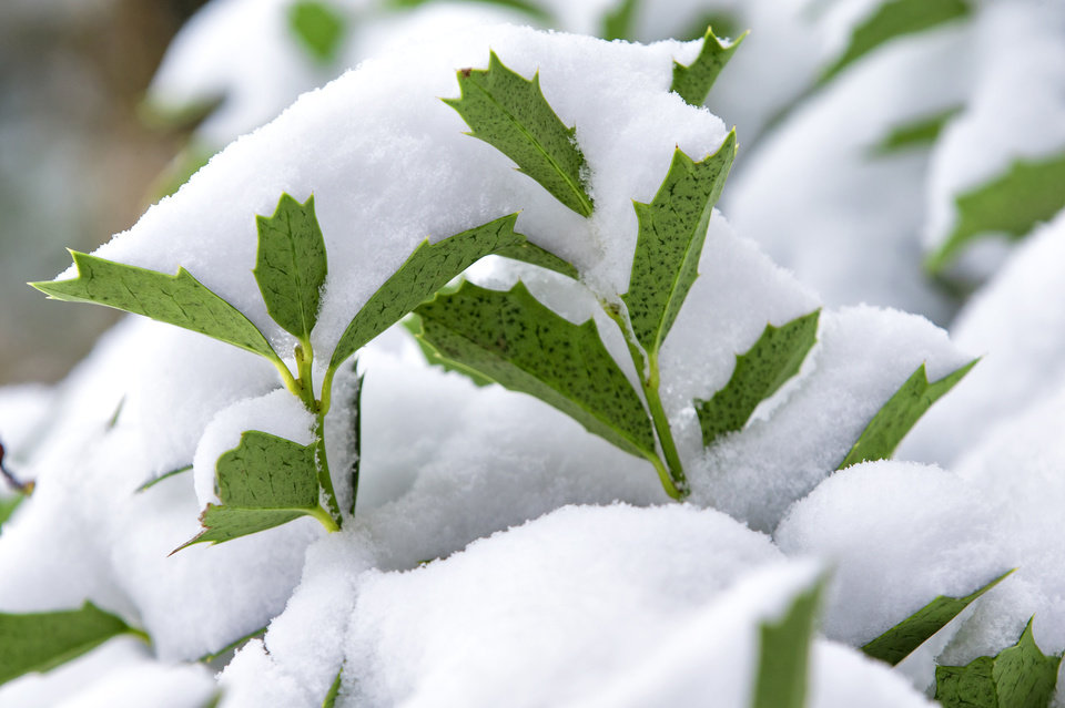 Photo - Snow covers the green leaves of a plant in Oklahoma City, Okla. on Wednesday, Feb. 5, 2020.  [Chris Landsberger/The Oklahoman]