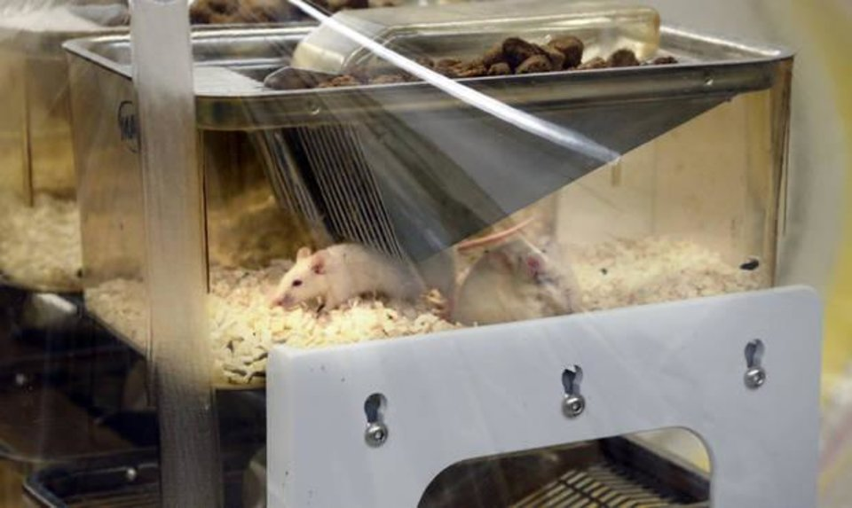 Photo -  Oklahoma Medical Research Foundation's new sterile environment research lab contains mice bred to not carry any bacteria, so researchers can test the effects of specific bacteria in a totally sterile environment. [Photo by Steve Sisney, The Oklahoman]
