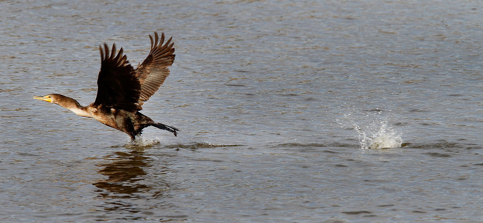 A Cormorant takes flight at the Oklahoma City Zoo lake during it's migration south in Oklahoma City, Thursday December, 8,  2011. Photo by Steve Gooch, The Oklahoman.