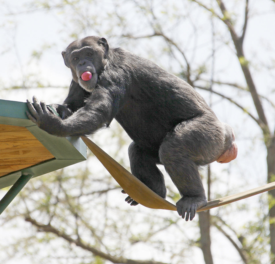 Photo - A chimpanzee searches for Easter eggs  at the Oklahoma City Zoo in Oklahoma City , April 22 , 2011. Photo by Steve Gooch, The Oklahoman ORG XMIT: KOD