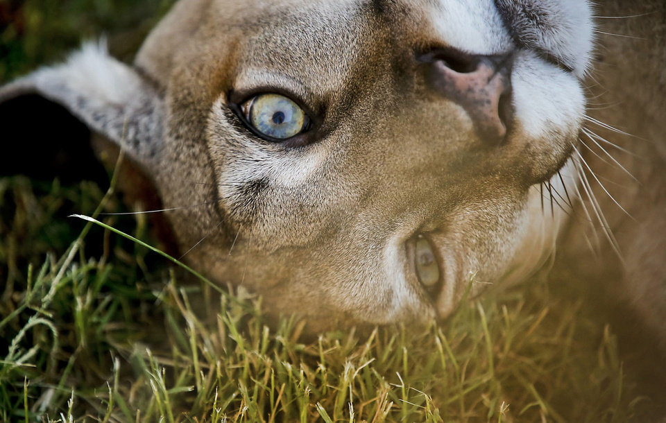 Photo - Pet cougar Zinnia rolls in the grass at the home of cougar rescuer and owner Leah Aufill on Friday, July 28, 2013 in Perkins, Okla. Aufill has hand raised Zinnia from just after birth. Aufill's home is a complete facility that allows her to house and rescue cougars.    Photo by Chris Landsberger, The Oklahoman