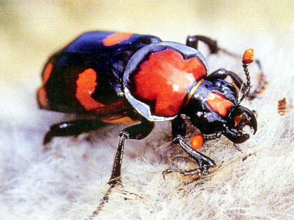 An American burying beetle is seen in this close-up shot. Energy companies in Oklahoma are going to great lengths to keep from harming the endangered insects while drilling for oil and gas. Photo provided. <strong></strong>