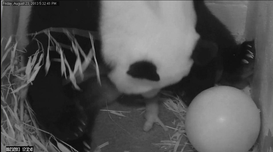 Photo - In this image from video provided by the Smithsonian National Zoo, Mei Xiang gives birth to a cub two hours after her water broke Friday, Aug. 23, 2013, at the National Zoo in Washington. The zoo has been on round-the-clock panda watch since Aug. 7, when Mei Xiang began showing behavioral changes consistent with a pregnancy or pseudopregnancy. (AP Photo/Smithsonian National Zoo)