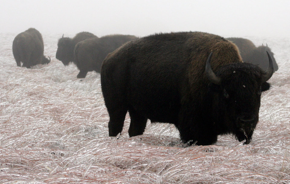 WINTER, COLD WEATHER, ICE STORM: Buffalo graze on frozen prairie grass Monday Dec 10th at the Wichita Mountains National Wildlife Refuge, 25 miles northwest of Lawton. By Holly Franks, The Oklahoman. ORG XMIT: KOD