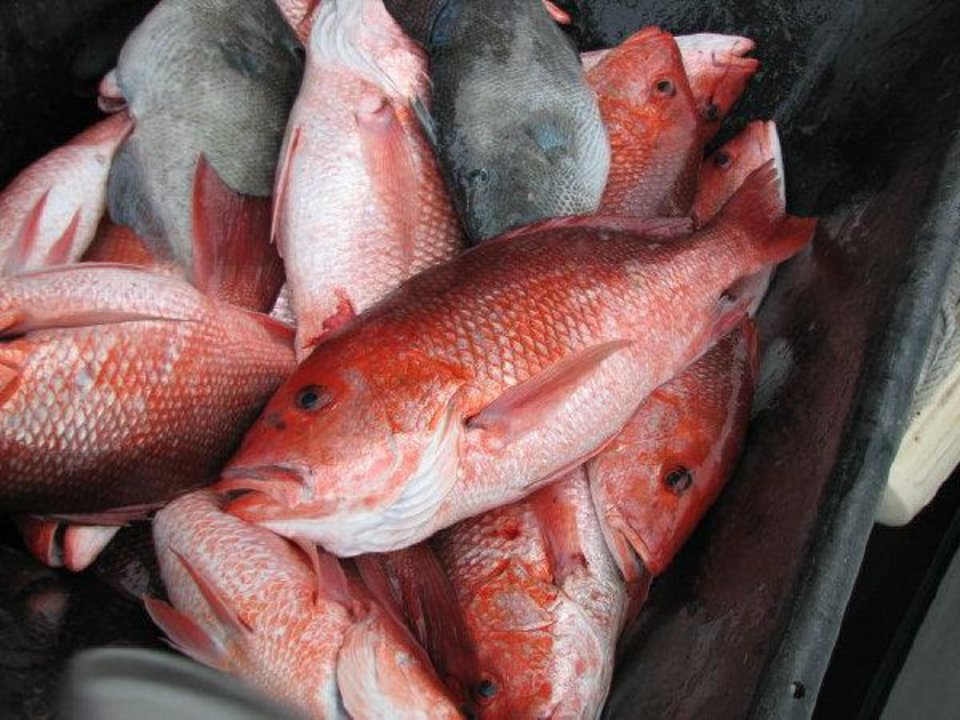 Photo - Red Snapper and triggerfish are just part of the bounty that the Gulf of Mexico has to offer to anglers.   - Photo by Ed Godfrey, The Oklahom