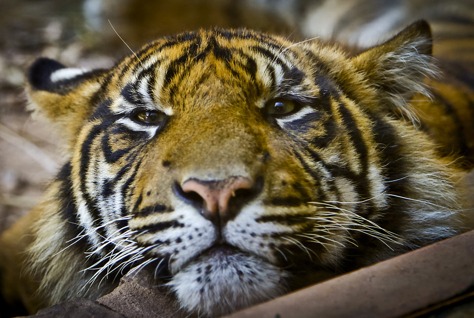A Sumatran Tiger at the Oklahoma City Zoo on Friday, June 29, 2012, in Oklahoma City, Oklahoma. Photo by Chris Landsberger, The Oklahoman
