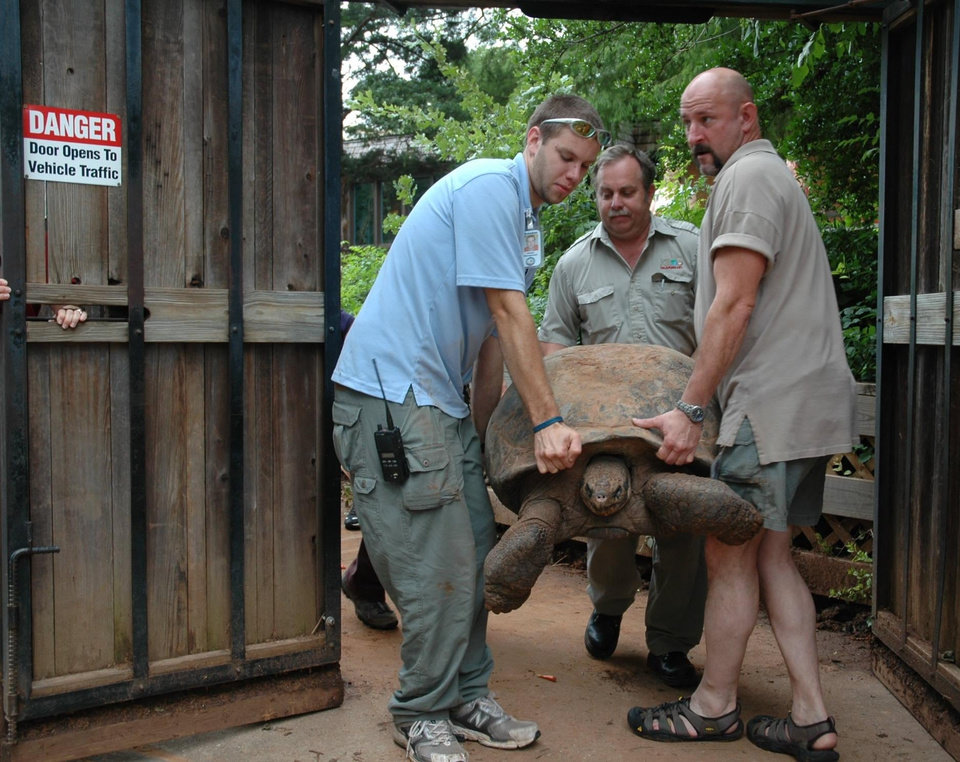 Oklahoma City Zoo animal keepers Brandan Cole, Joe Branham and Todd McCutchen (left to right) carry Tortilla, a Galapagos Tortoise, to a cart so they can transport her to her new summer home at the Zoo. The Zoo\'s three female Galapagos Tortoises weigh around 250 lbs. and are estimated to be between 60 and 100 years of age. Community Photo By: Mary Wagner Submitted By: Mary, Oklahoma City