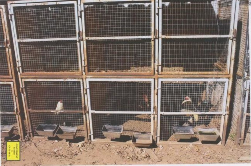 Photo -  Investigators found chickens in pens during a search of a cockfighting site near Anadarko in 2016. [Photo provided]