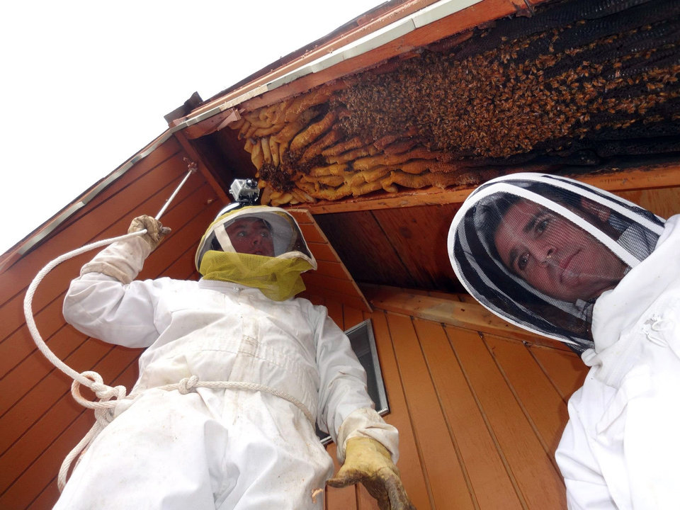 Photo - In this early April 2013 photo provided by Ogden beekeeper Vic Bachman, Bachman, left, and partner Nate Hall prepare to remove a 12-foot-long beehive from an A-frame cabin in Eden, Utah. It was the biggest beehive the Utah beekeepers have ever removed, containing about 60,000 honeybees. (AP Photo/Courtesy Vic Bachman)