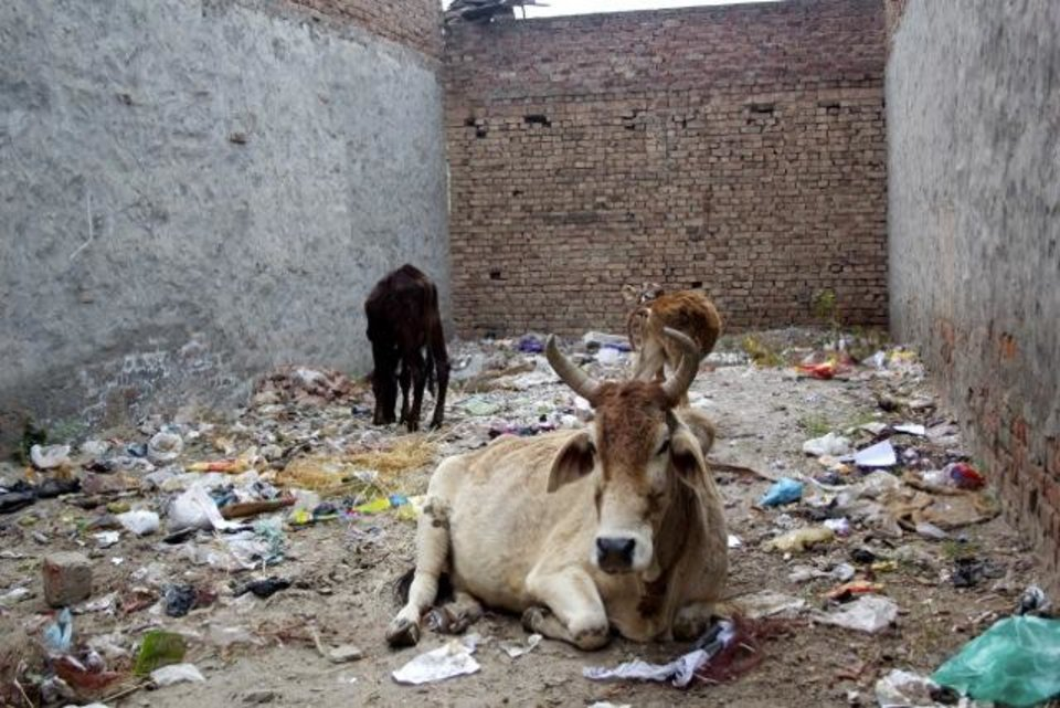 Cows. Donkeys. Trash. A typical neighborhood scene.
