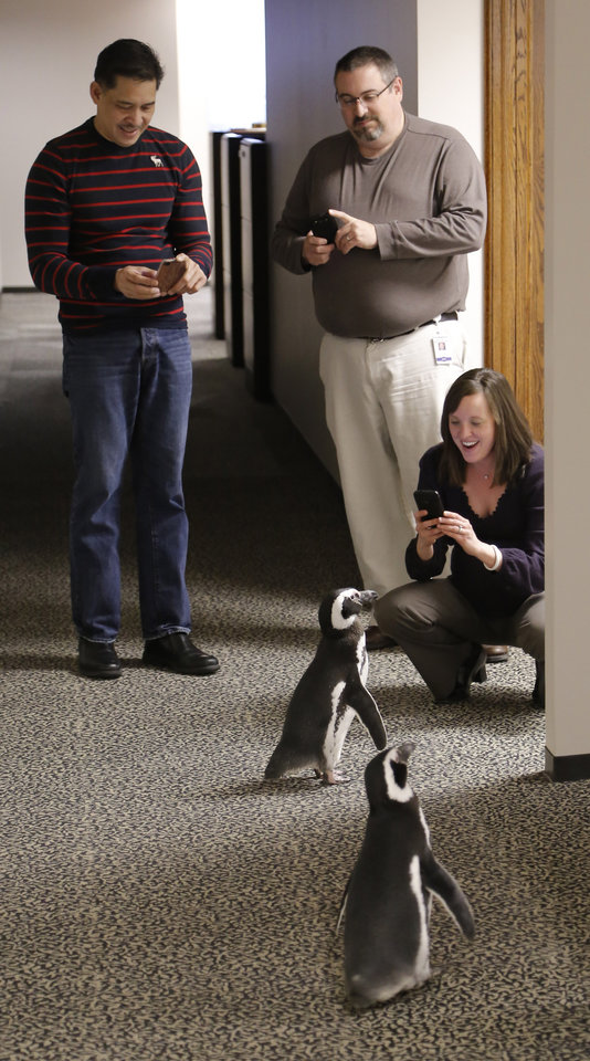 OPUBCO employees get photos of the Magellanic penguins, Penny and Pete, as they roam the halls during SeaWorld's visit the OPUBCO on Thursday, Feb. 21, 2013, in Oklahoma City, Okla. Photo by Doug Hoke, The Oklahoman