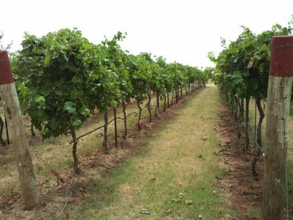 Photo - Mature vines at Clauren Ridge Vineyard and Winery.   - PROVIDED