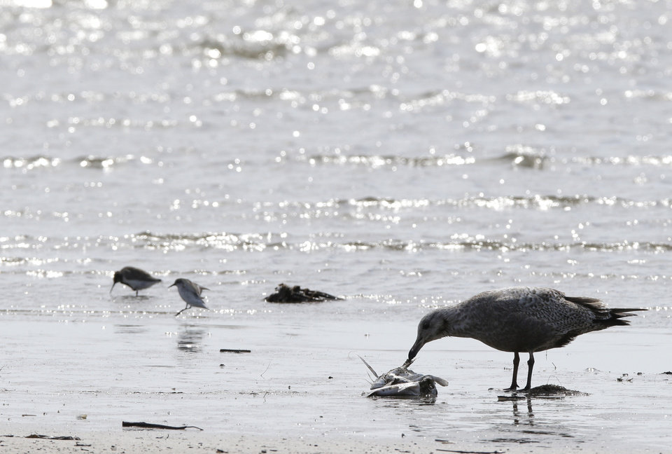 Photo - A tern picks at possible food at the Bolivar Flats Bird Sanctuary Tuesday, March 25, 2014, in Bolivar, Texas. Environmental groups are concerned about shore birds eating oil covered food along the beaches. Up to 170,000 gallons of tar-like oil spilled into the major U.S. shipping channel after a barge ran into a ship Saturday. (AP Photo/Pat Sullivan)
