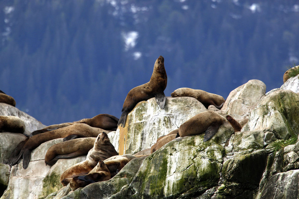 Photo - A Steller Sea Lions rest on rocks on South Marble Island, Thursday, June 7, 2012.  Photo by Sarah Phipps, The Oklahoman