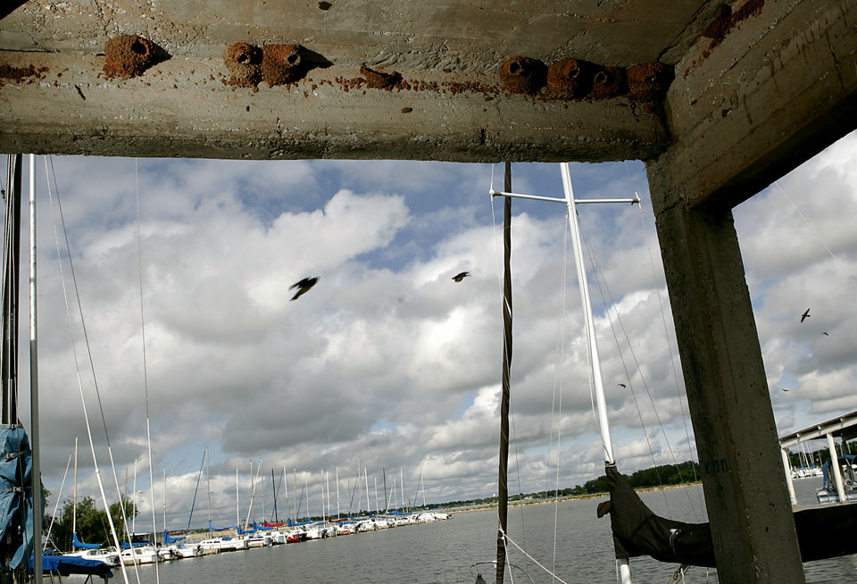 Photo - Adult Mudswallows have started to rebuild their nests at Lake Hefner in Oklahoma City, on Monday, June 9, 2008.186 birds were killed and one survived when a man knocked down their nests over the weekend. By John Clanton, The Oklahoman