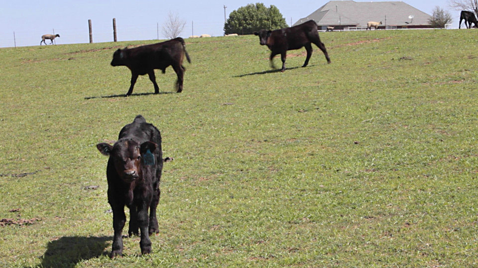 Left: Cattle graze on grass Wednesday at John Pfeiffer's ranch near Mulhall.  Photos By David McDaniel,  The Oklahoman