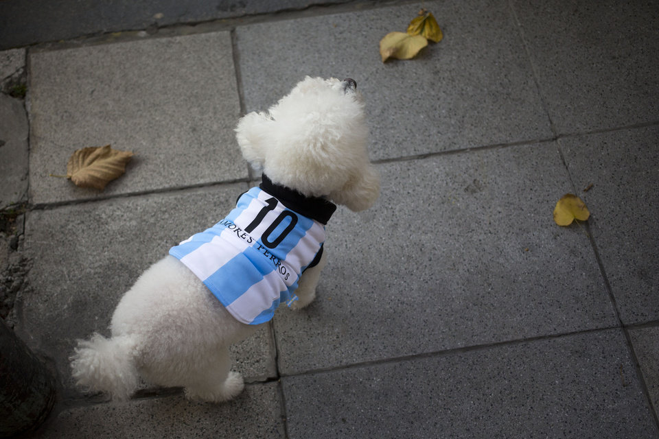 Photo - A dog wearing a garment resembling the jersey of Argentina's soccer team, with the number 10, walks on the sidewalk during a promotional event at a pet store ahead of the World Cup in Buenos Aires, Argentina, Thursday, June 5, 2014. Brazil is hosting the international soccer tournament starting next week, at which Argentina's player Lionel Messi will wear number 10. (AP Photo/Victor R. Caivano)
