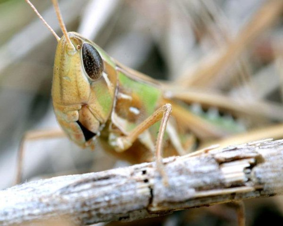A grasshopper sits on a twig in northwest Oklahoma City Thursday, Aug. 11, 2011. Photo by John Clanton, The Oklahoman ORG XMIT: KOD
