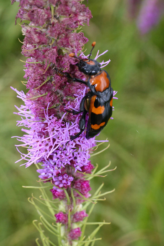 Edmond-based Common Ground Capital this month received approval from the U.S. Fish & Wildlife Service for its American Burying Beetle Conservation Bank. Photo provided  <strong></strong>
