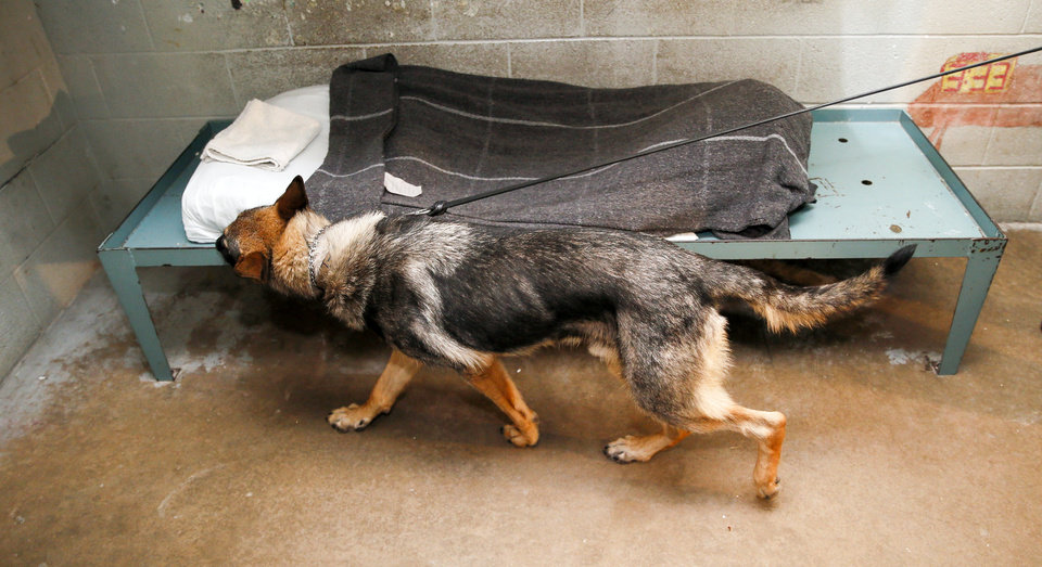 Photo - Han, a German shepherd, searches a cell for contraband during a demonstration at the Oklahoma County jail, 201 N Shartel Ave., in Oklahoma City, Wednesday, July 25, 2018. Han, who has been at the jail a month, and Sgt. Curtis Whittington, his handler, are the only K-9 contraband unit in the Oklahoma County jail system. Photo by Nate Billings, The Oklahoman