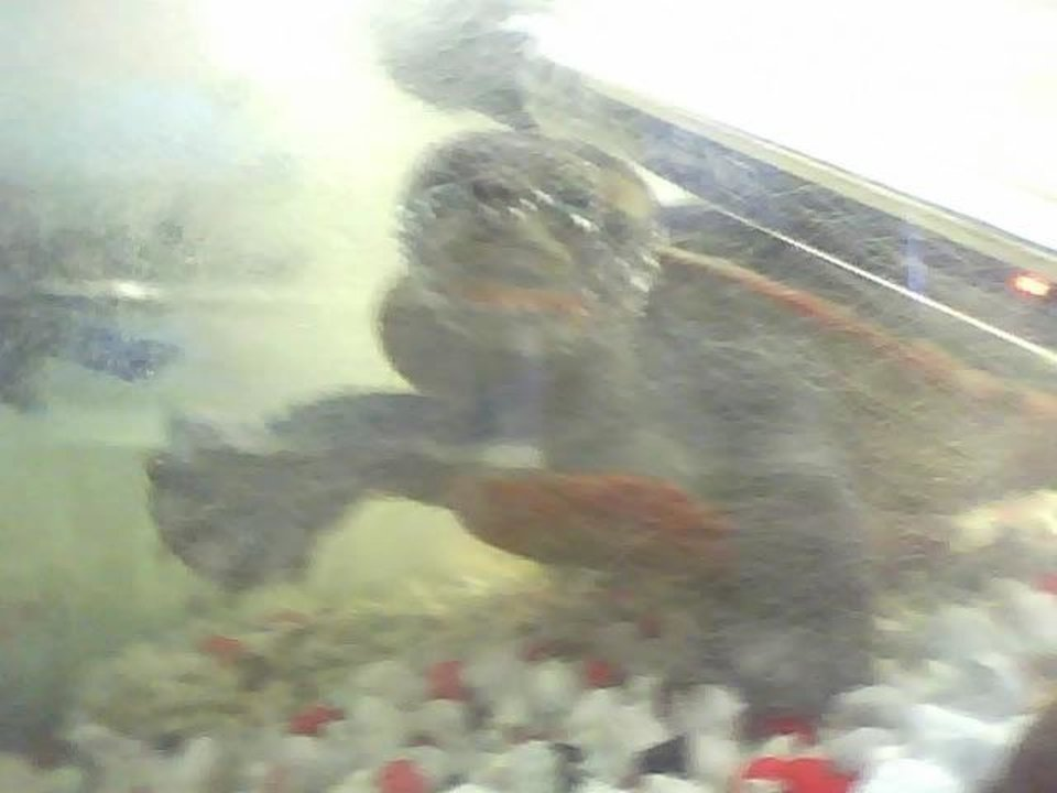 Turtle in the pet store<br/><b>Community Photo By:</b> Kash<br/><b>Submitted By:</b> Tama, Midwest