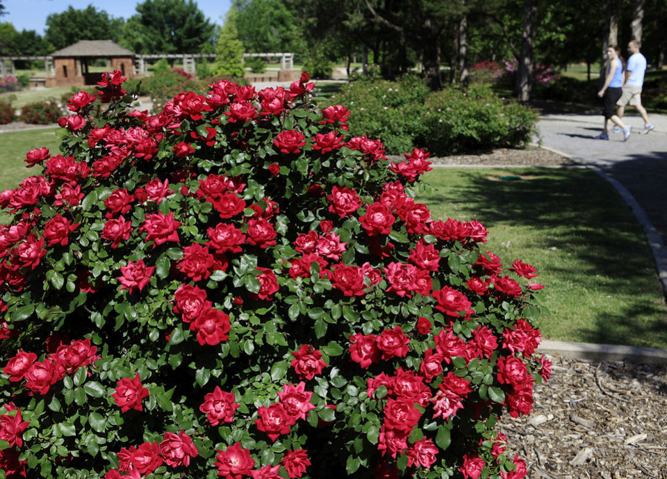 Photo - Roses in Will Rogers Park. PHOTO BY JIM BECKEL, THE OKLAHOMAN ARCHIVES  JIM BECKEL
