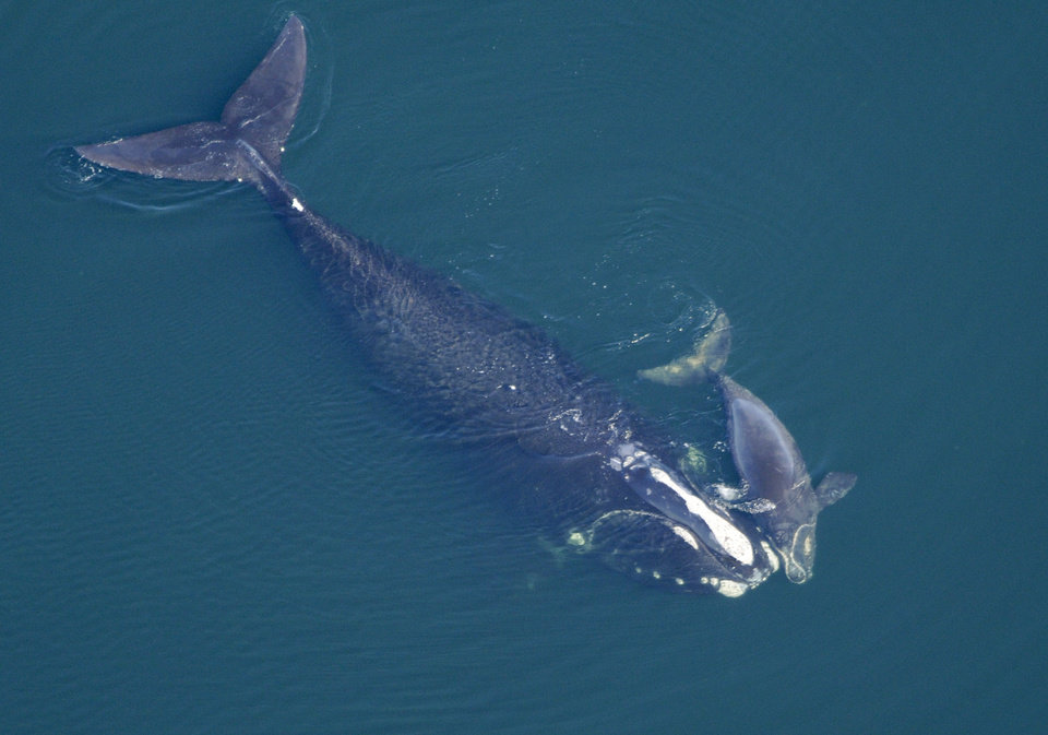 Photo -  In this 2009 photo provided by the New England Aquarium, a North Atlantic right whale swims with her calf in the Atlantic Ocean off the coast of the United States near the border between Florida and Georgia. The Obama Administration is opening the Eastern Seaboard to offshore oil exploration for the first time in decades. The announcement made Friday also approved the use of sonic cannons to map the ocean floor identifying new oil and gas deposits in federal waters from Florida to Delaware. The sonic cannons pose real dangers for whales, fish and sea turtles.AP Photo   Anonymous -  AP