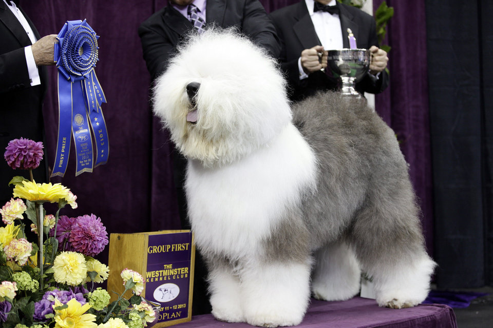 Photo - FILE - In this Feb. 11, 2013 file photo, Swagger, an Old English Sheep Dog, is posed for photographs after winning the herding group during the Westminster Kennel Club dog show at Madison Square Garden in New York. Swagger is a contender for the best in show during the 138th Westminster Kennel Club dog show. (AP Photo/Frank Franklin II, File)