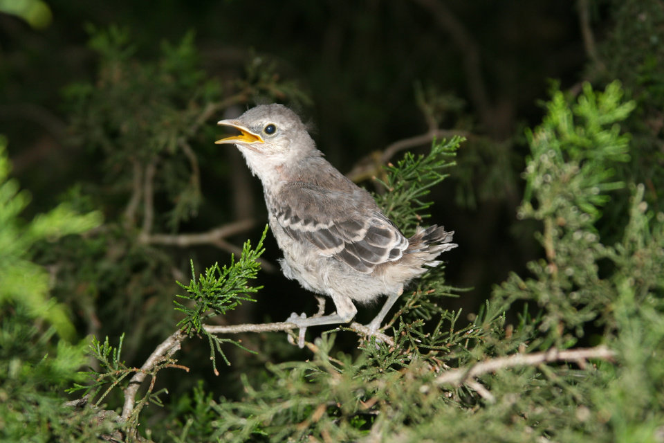 Baby Mockingbird in evergreen tree, Choctaw, Okla.<br/><b>Community Photo By:</b> Billy Sparks<br/><b>Submitted By:</b> Billy, Choctaw