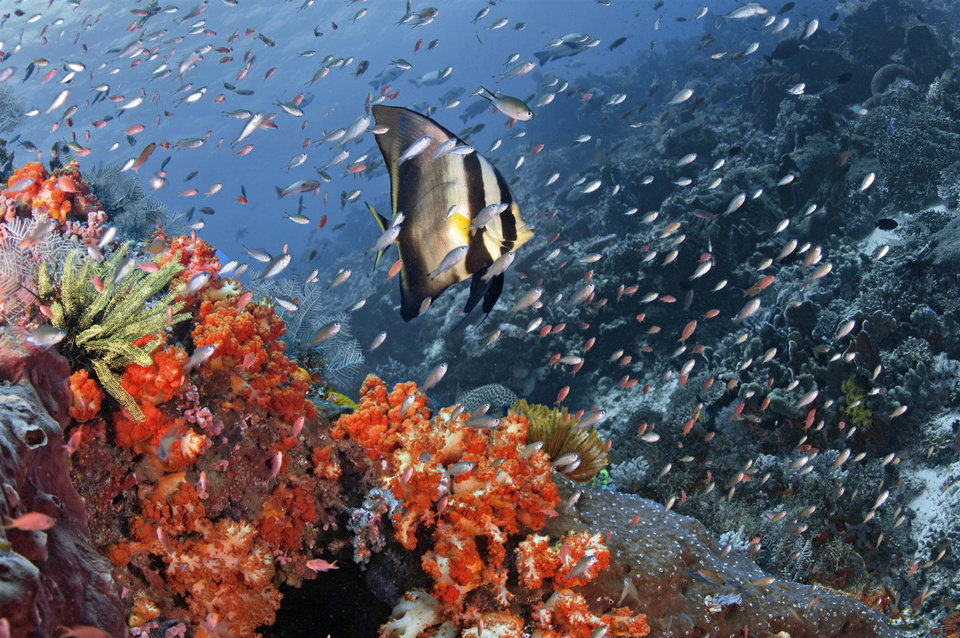 In this May 15, 2010, a Pinnate batfish swims among other fish in Tatawa Besar in the waters of Komodo islands, Indonesia. Coral gardens that were among Asia's most spectacular, teeming with colorful sea life just a few months ago, have been transformed into desolate gray moonscapes by fishermen who use explosives or cyanide to kill or stun their prey. (AP Photo/Robert Delfs) NO SALES