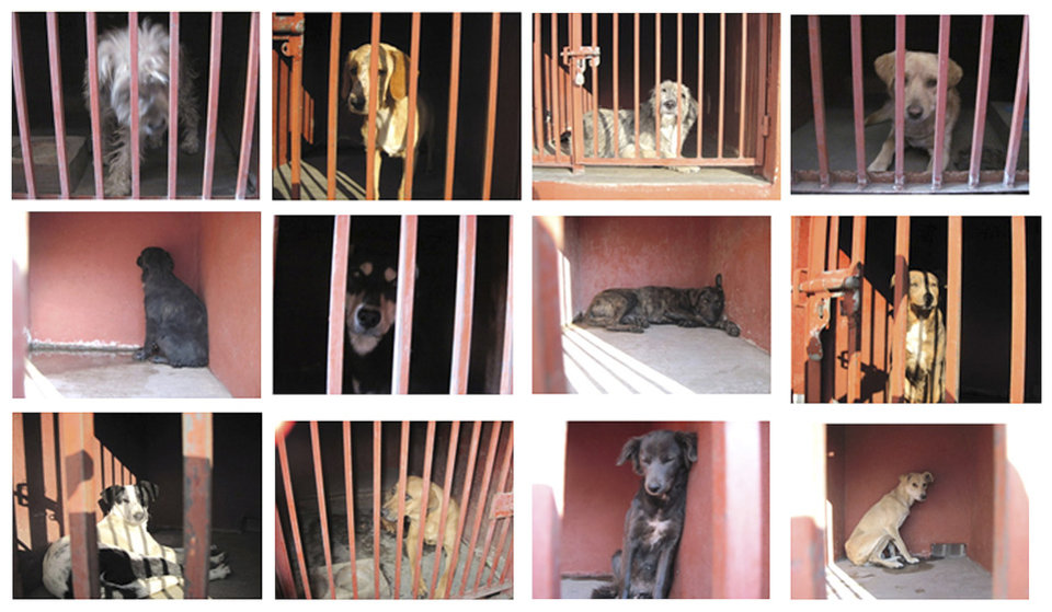 In this 12 picture composite released by the Mexico City\'s Attorney Generals Office on Monday Jan. 7, 2013, several dogs are shown behind bars after they were caught in the vicinity where where a woman, her baby and a teenage couple were found dead and covered in dog bites in two separate incidents in recent days. Authorities have captured 25 dogs near the scene of the attacks in the capital\'s poor Iztapalapa district, but rather than calm residents, photos of the forlorn dogs brought a wave of sympathy for the animals, doubts about their involvement in the killings and debate about government handling of the stray dog problem. (AP Photo/Mexico City\'s Attorney Generals Office)