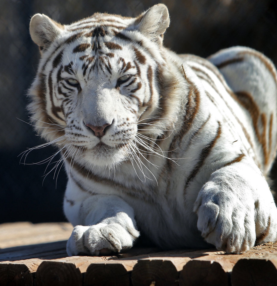 A large tiger looks from inside an enclosure at GW Exotic Animal Park on Thursday, Feb. 28, 2013 in Wynnewood, Okla.  Photo by Steve Sisney, The Oklahoman