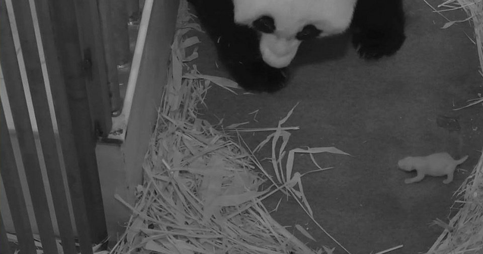 Photo - This Aug. 29, 2013 photo provided by the Smithsonian's National Zoo, shows the zoo's Panda mother Mei Xiang with her cub at the zoo in Washington. The zoo said Thursday, Sept. 5, 2013, its 2-week-old giant panda cub is a female. The Washington zoo also revealed Thursday that the cub's father is National Zoo panda Tian Tian. (AP Photo/Smithsonian's National Zoo)