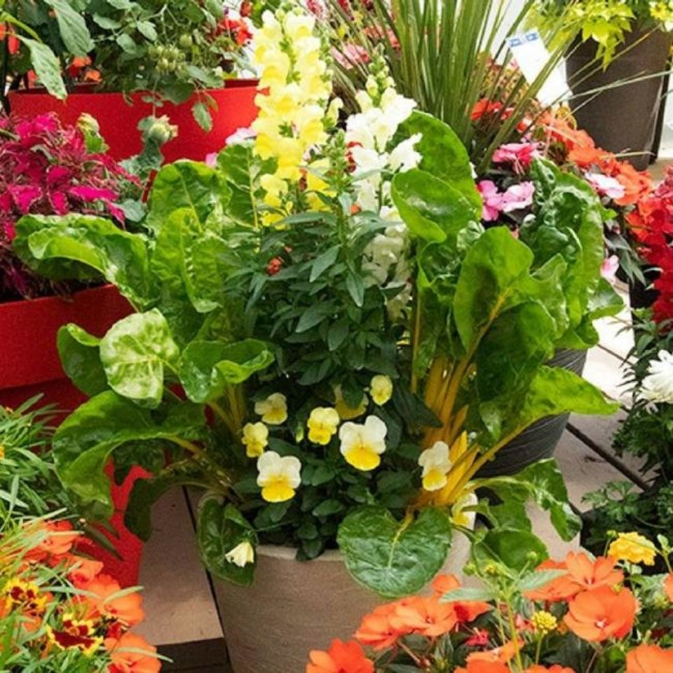 Photo -  Spinach, pansies and begonias harmonious in a container garden. [National Garden Bureau]