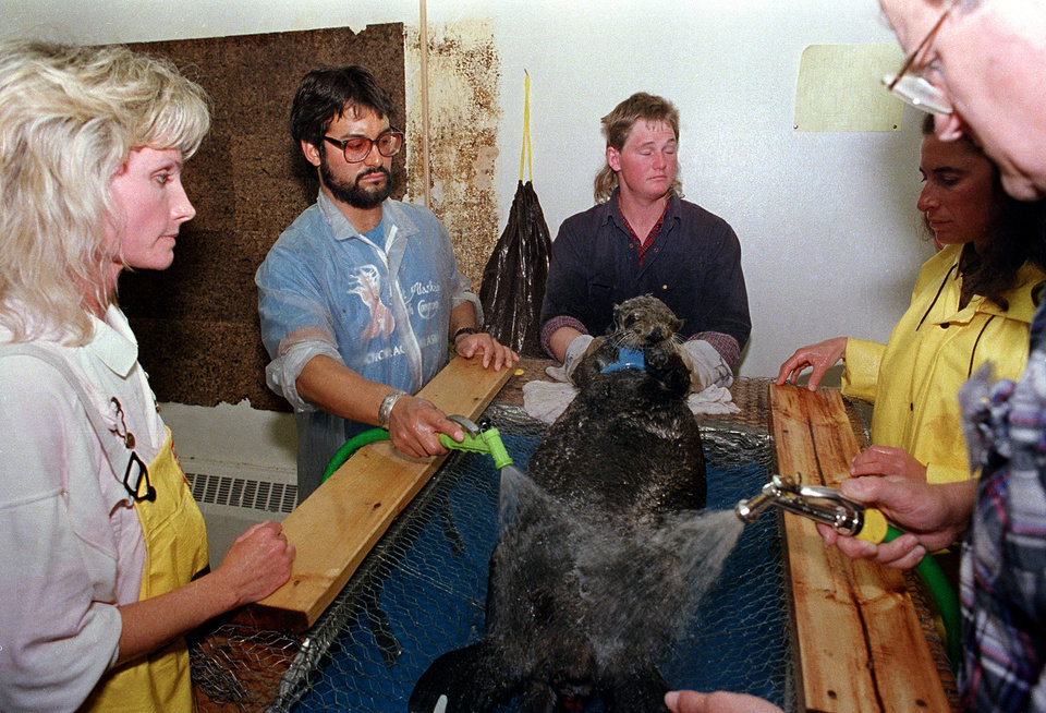 Photo - FILE - In this April 18, 1989 file photo, a rescued sea otter is restrained and washed by workers at a local animal facility after five of the oil covered mammals were captured in the fouled waters of Prince William Sound, Alaska. The list of animals injured and killed from the spill of the oil tanker Exxon Valdez includes sea otters, deer, eagles, owls and a host of other water fowl gathered up by rescue workers. Nearly 25 years after the Exxon Valdez oil spill off the coast of Alaska, some damage heals, some effects linger in Prince William Sound.  (AP Photo/John Gaps III, File)