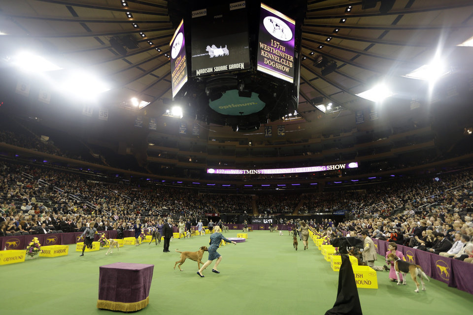 Dogs are shown with the Hound group during the Westminster Kennel Club dog show Monday, Feb. 11, 2013, at Madison Square Garden in New York.(AP Photo/Frank Franklin II) ORG XMIT: MSG107