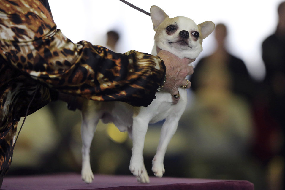 A handler places a smooth coat Chihuahua on the table for inspection during competition at the 137th Westminster Kennel Club dog show, Monday, Feb. 11, 2013 in New York.  (AP Photo/Mary Altaffer) ORG XMIT: NYMA102