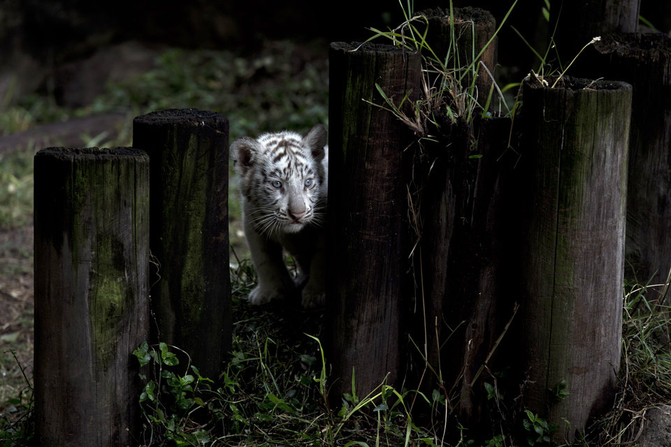 Photo - A white tiger cub peers from behind wood stumps inside its enclosure at the Buenos Aires Zoo in Argentina, Thursday, March 21, 2013.  Cleo, a female Bengal white tiger, gave birth to two females and two males on Jan. 14. (AP Photo/Natacha Pisarenko)