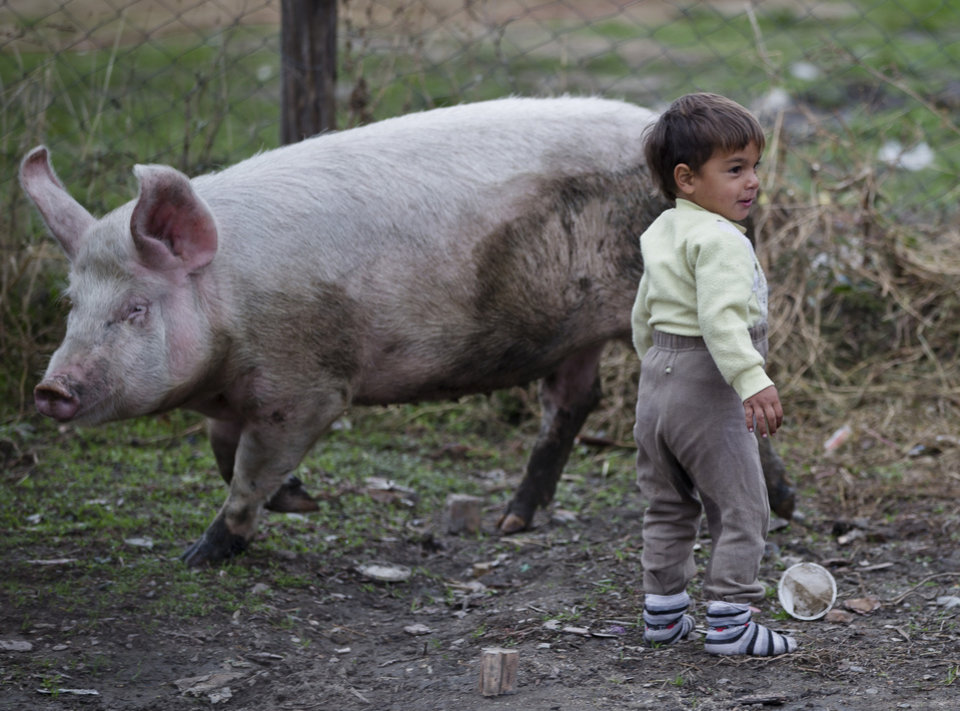 Photo - A Bulgarian Roma child stands next to a pig in a Roma neighborhood of Nikolaevo, Bulgaria, Friday, Oct. 25, 2013. Sasha Ruseva, a Bulgarian Roma woman from this town, is under investigation by Bulgarian authorities trying to find out  if she is the mother of a suspected abduction victim in neighboring Greece known as