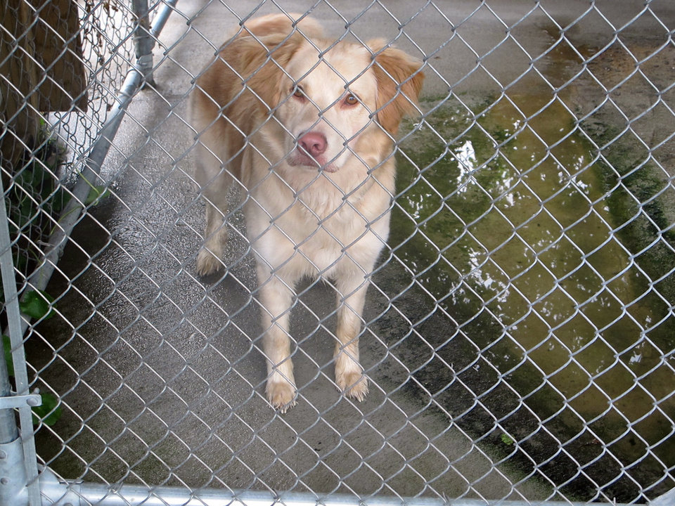 Photo -   A dog authorities say mauled and killed a 2-month old child stands in a holding pen behind the Dorchester County Sheriff's Department in Summerville, S.C., on Friday, April 20, 2012. The mother of the child called 911 when she got home around 11 a.m. and discovered the boy's leg was severed by a retriever mix the family had taken into the home a few weeks earlier, Dorchester County deputies said. (AP Photo/Bruce Smith)