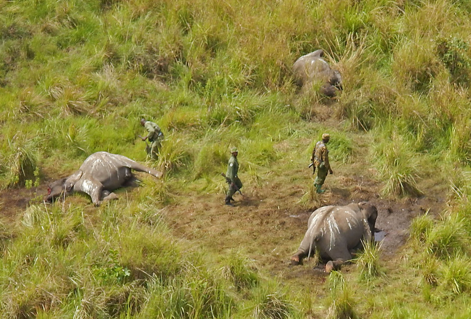 Photo - In this photo taken on Tuesday, May 20, 2014, Park ranges stand near the remains of three elephants that were killed by poachers in the Garamba National Park, situated in the Democratic Republic of Congo. At least 68 elephants, some 4 percent of the population of one of Africa's oldest parks, have been slaughtered by poachers over the last two months using chain saws and helicopters, warned the non-profit group managing the park. The Johannesburg-based African Parks group said that since mid-May, the 5,000 square kilometer (1,900 square mile) Garamba National Park established in 1938 has faced an onslaught from several different bands of poachers. (AP Photo/African Parks)