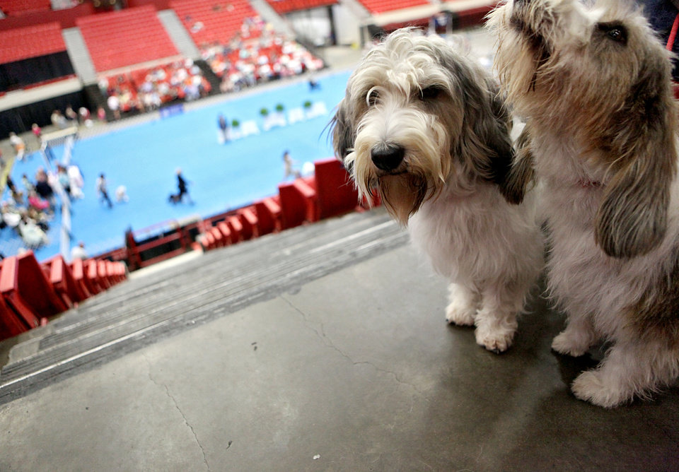 Lucky (left) and Betty, both Petit Basset Griffon Vendeens who won awards during the dog show sit above the competition on Sunday with their owner Steve Belflower, of Oklahoma City, at the Cox Convention Center in Oklahoma City Sunday, June 28, 2009. Photo by John Clanton, The Oklahoman