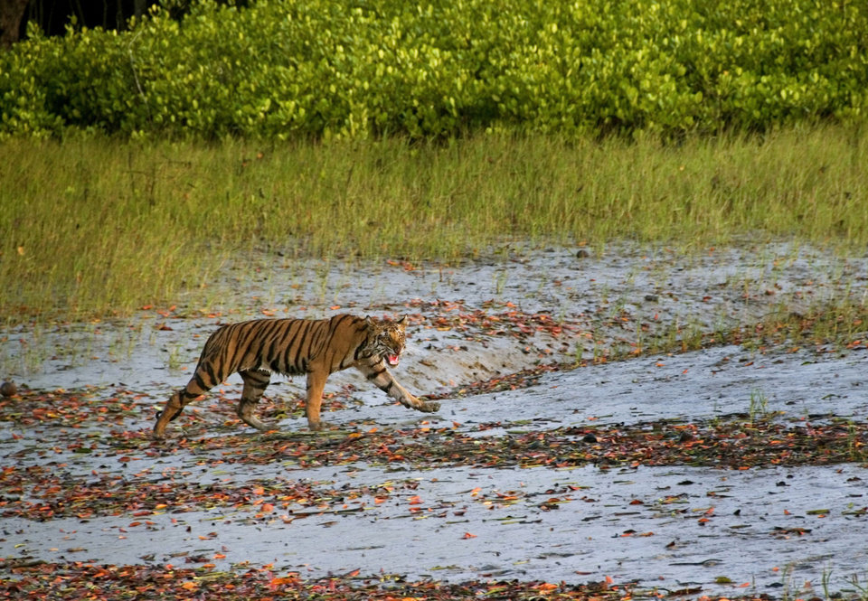 Photo - In this Wednesday, March 19, 2014, photo,  a Royal Bengal tiger prowls in Sunderbans, at the Sunderban delta, about 130 kilometers (81 miles) south of Calcutta, India. An Indian fisherman says a tiger has snatched a man off a fishing boat and dragged him away into a mangrove swamp. (AP Photo/ Joydip Kundu)