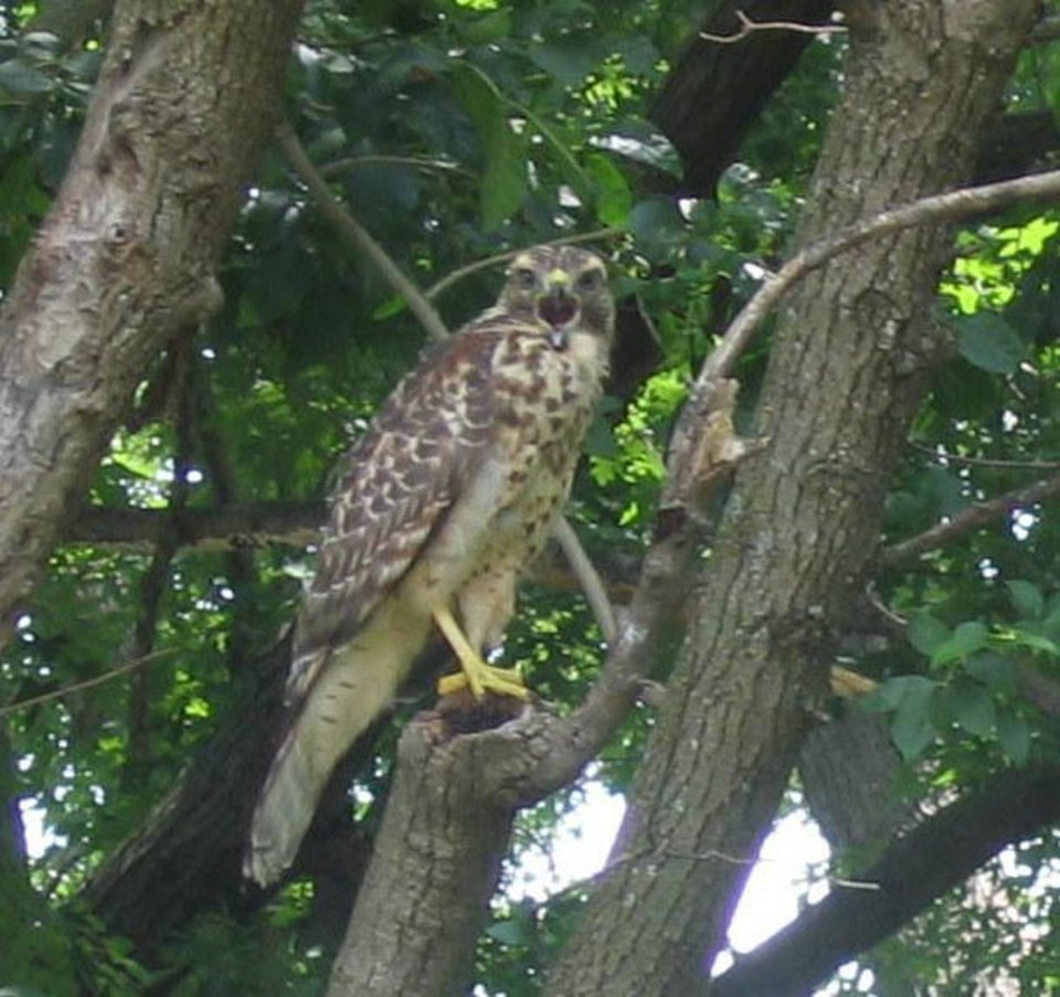 Hawk in tree at Choctaw, Oklahoma.<br/><b>Community Photo By:</b> Billy Sparks<br/><b>Submitted By:</b> Billy, Choctaw